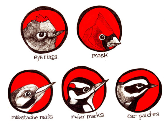 Extinct Bird Drawings
