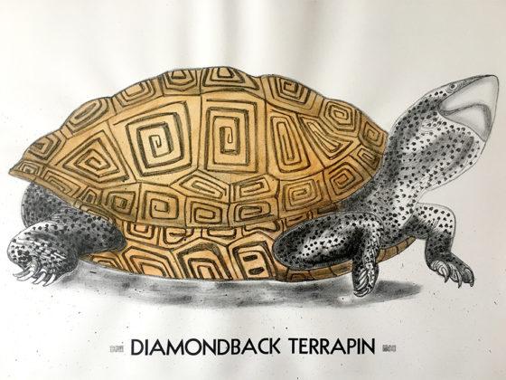 Diamondback Terrapin